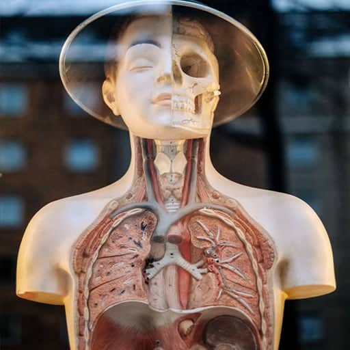 ITEC Anatomy and Physiology diploma course with image of internal upper body parts